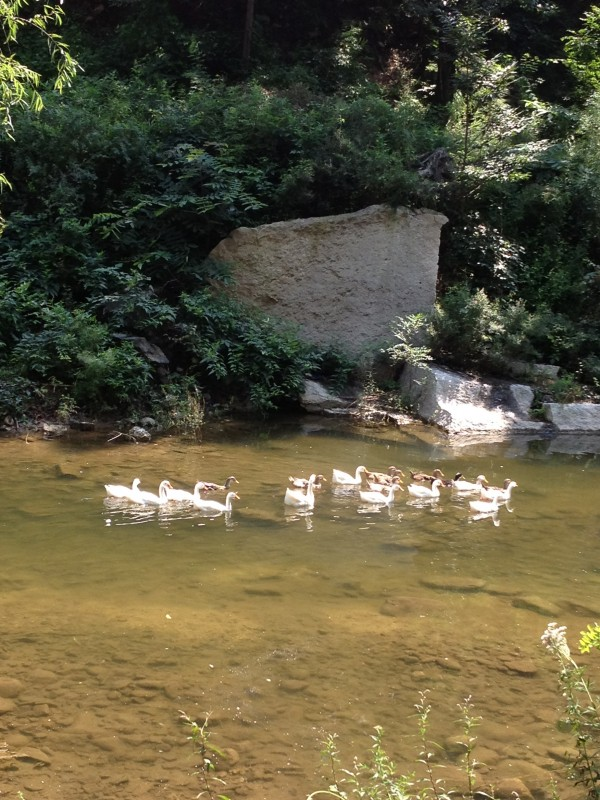 image of ducks and geese Shentangyu